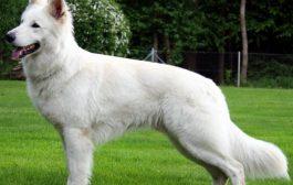 A fehér juhászkutya ismérvei